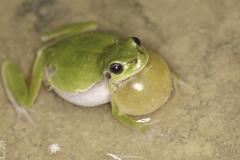 Laubfrosch mit Schallblase -©Ralph Sturm