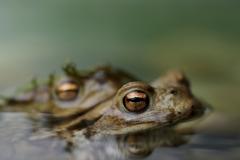 Erdkröte, Paarung -©Ralph Sturm