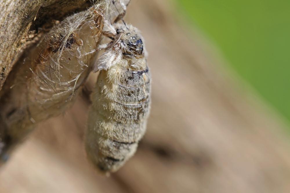 Schlehen-Bürstenspinner, Weibchen©Ralph Sturm