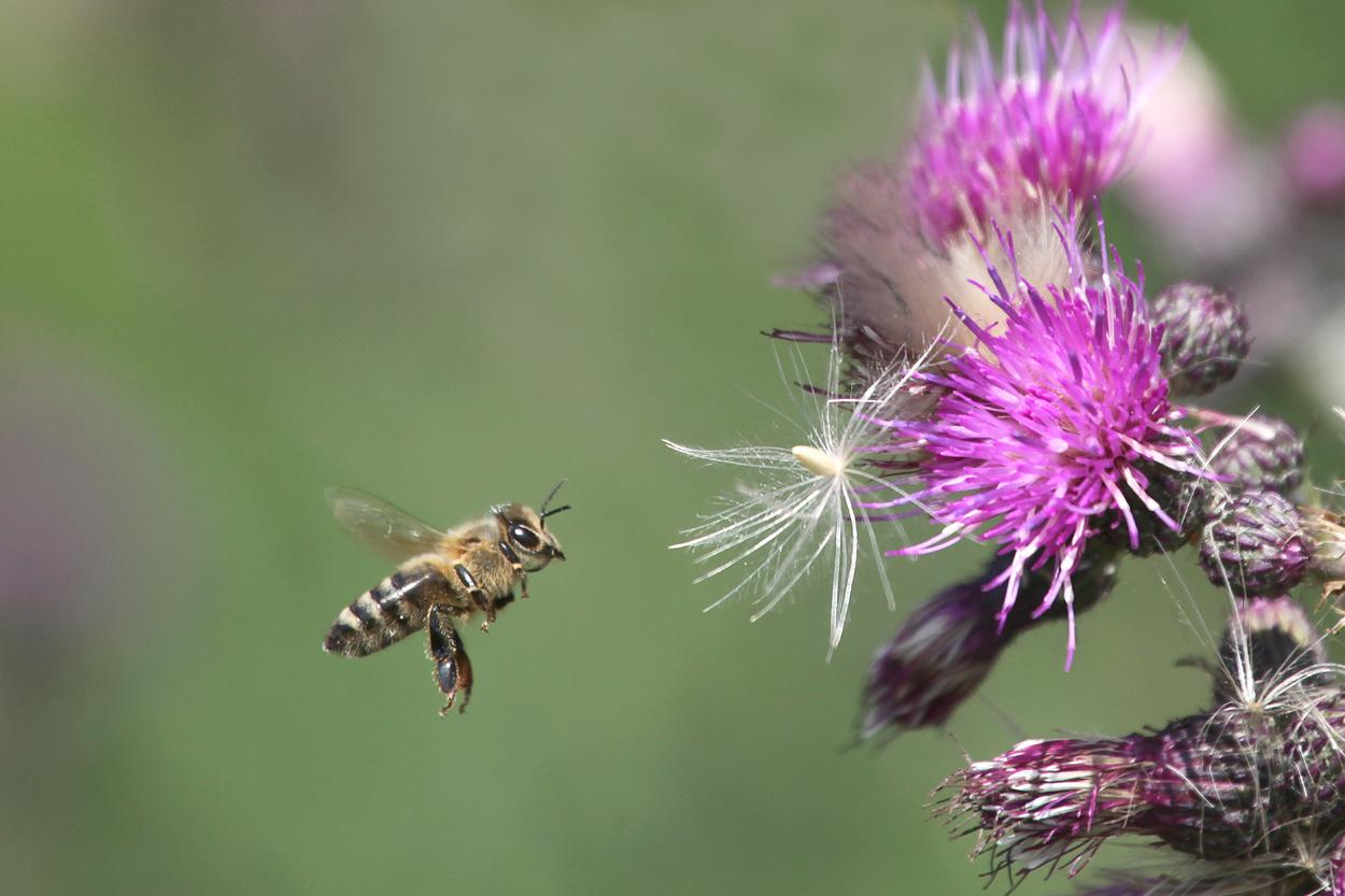 Honigbiene fliegt an Distelblüte©Ralph Sturm
