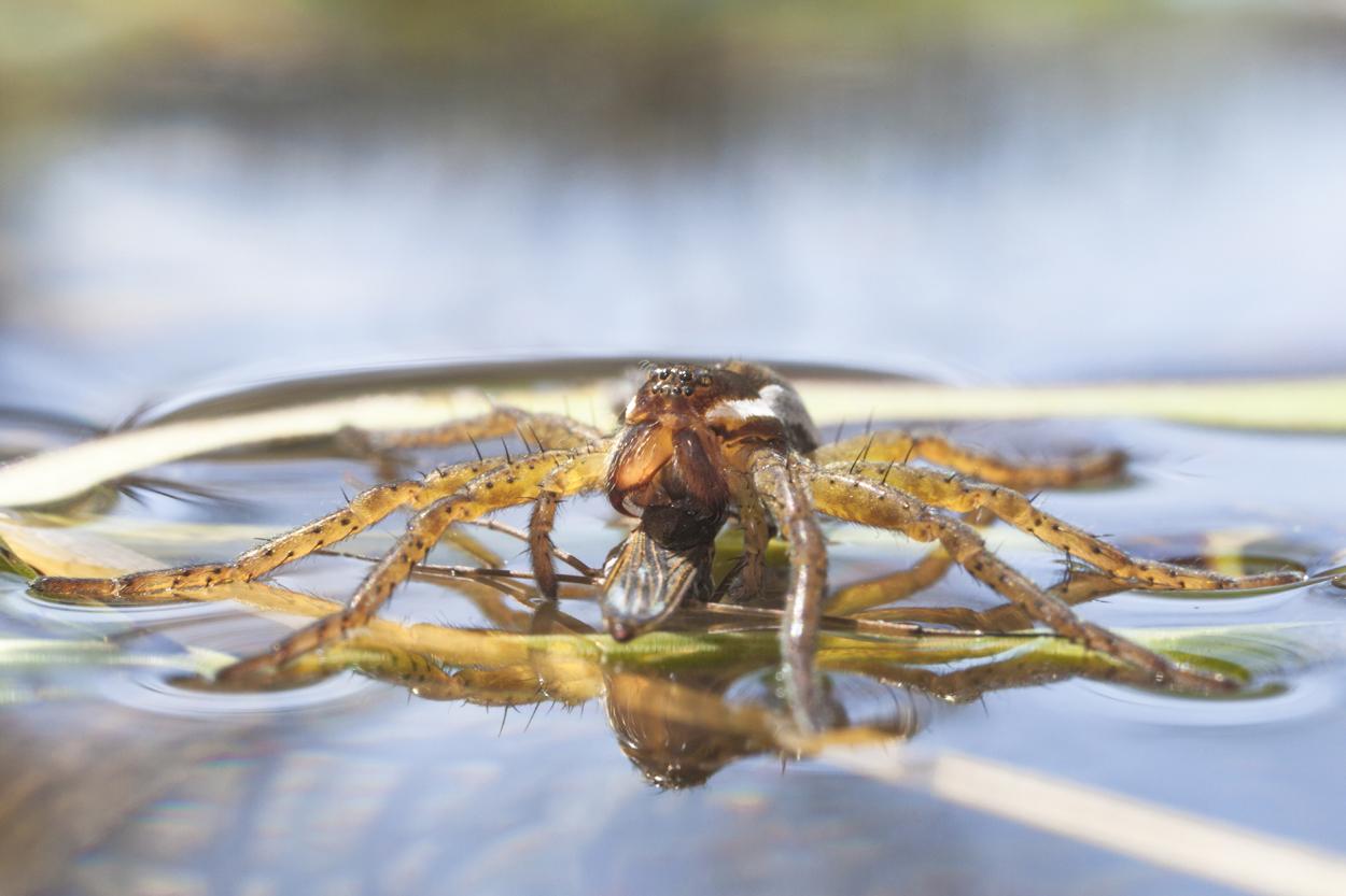 Gerandete Jagdspinne - ©Ralph Sturm
