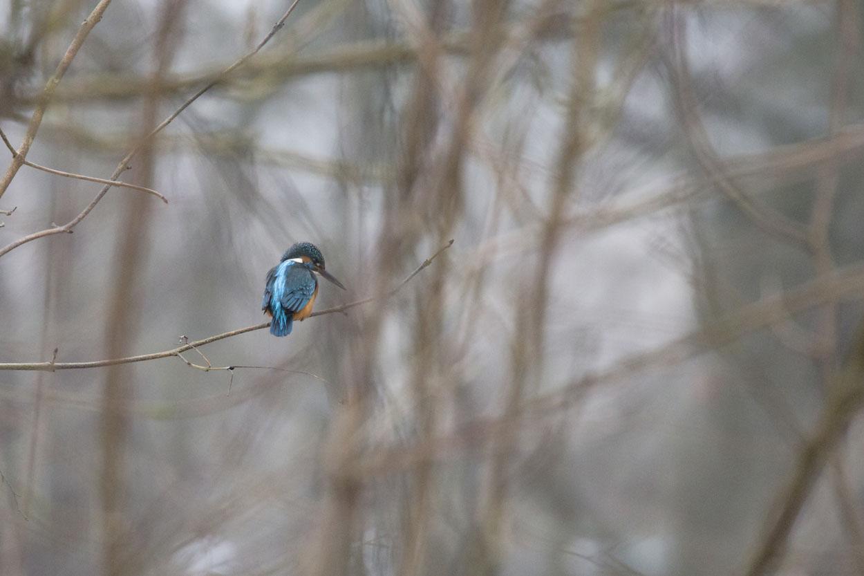 Eisvogel©Ralph Sturm