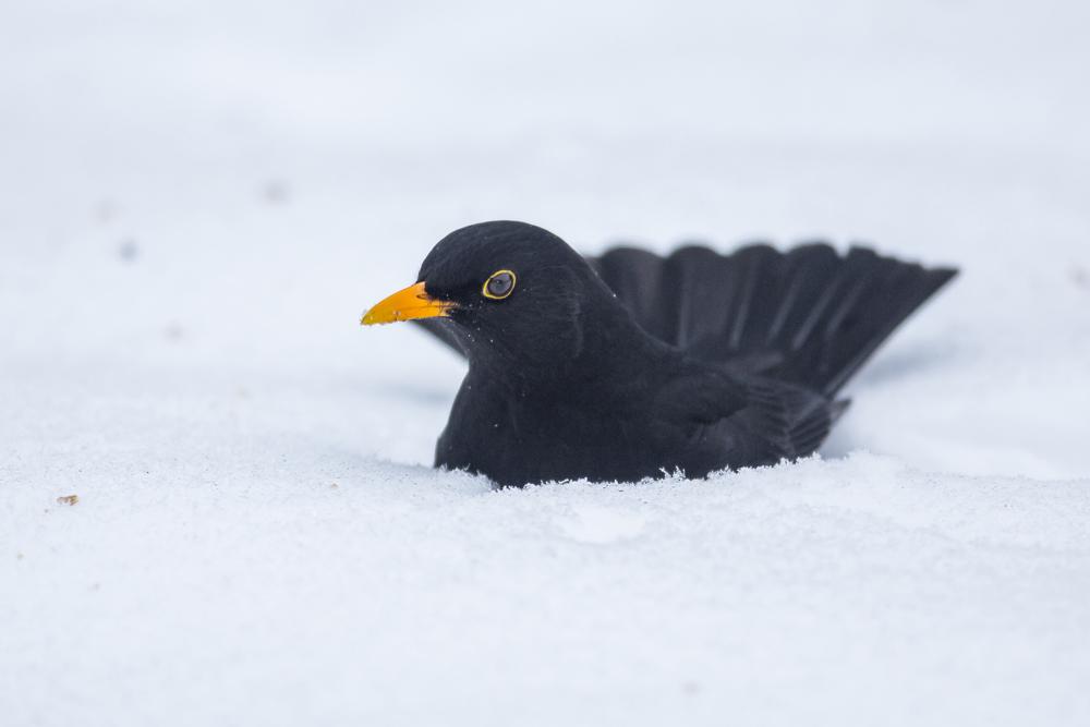 Amsel im Neuschnee©Ralph Sturm