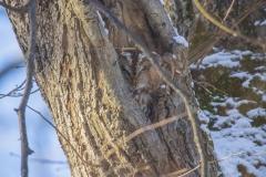 Waldkauz in seiner Schlafhöhle©Ralph Sturm