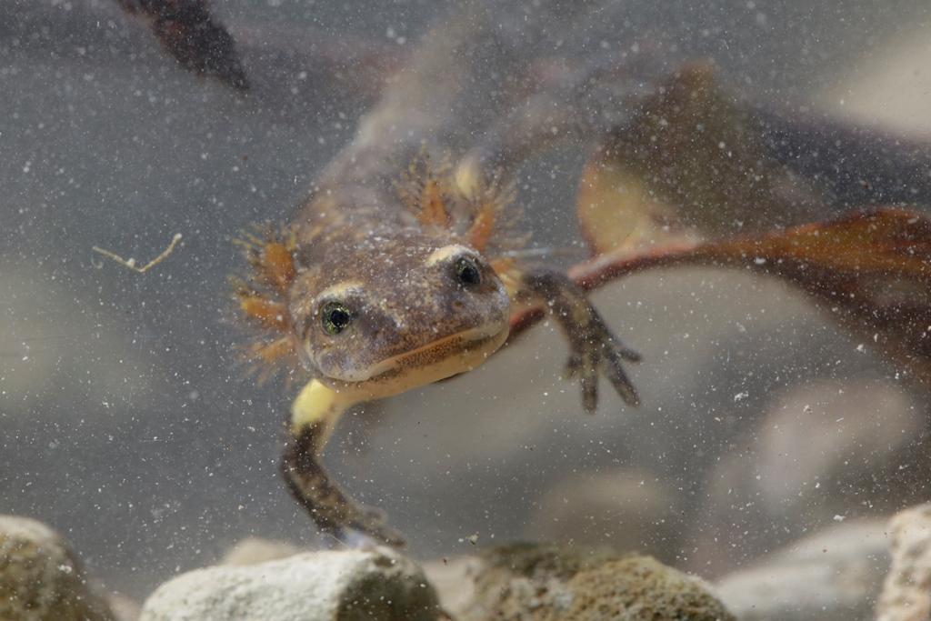 Feuersalamander, Larve -©Ralph Sturm