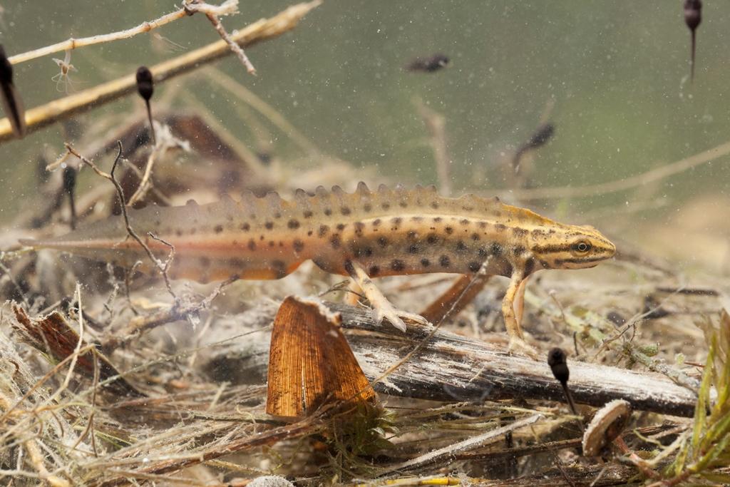 Teichmolch, Männchen in Wassertracht -©Ralph Sturm