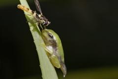 Laubfrosch und Schwebfliege -©Ralph Sturm