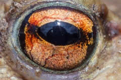 Erdkröte, Auge -©Ralph Sturm
