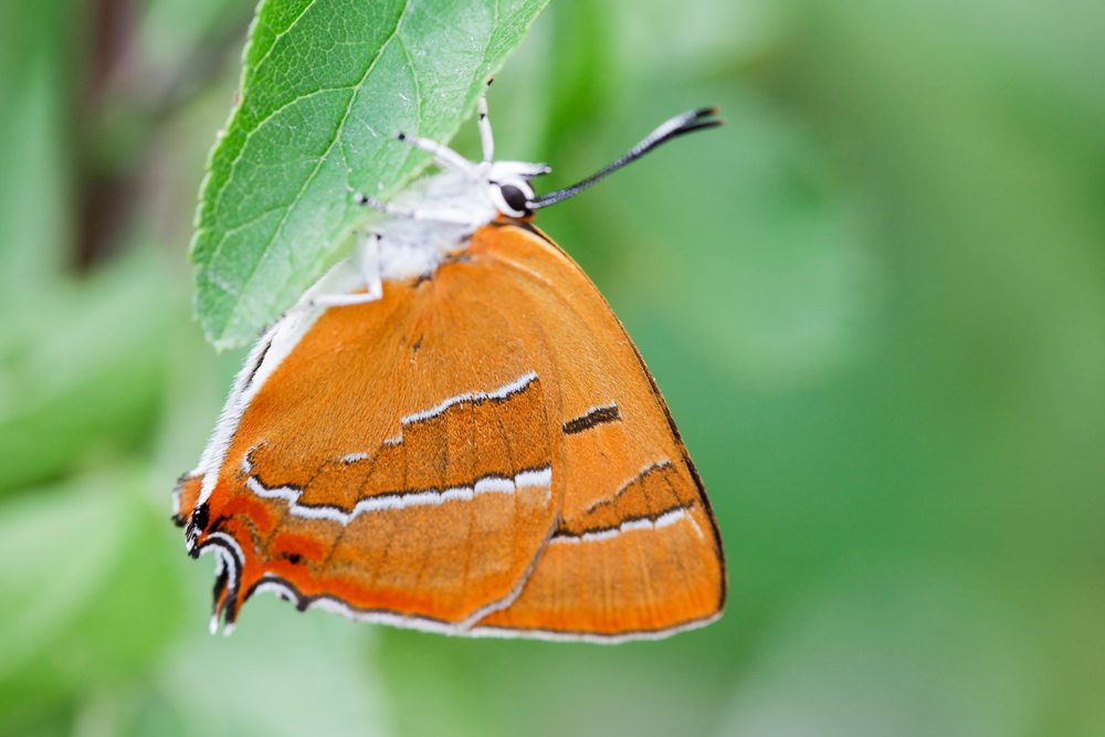 Birkenzipfelfalter, Weibchen©Ralph Sturm