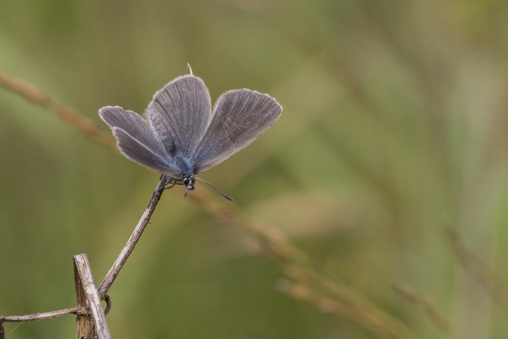 Kreuzenzian-Ameisenbläuling, Weibchen©Ralph Sturm