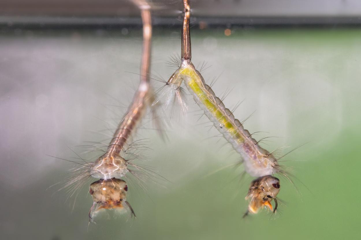 Mückenlarven unter Wasser©Ralph Sturm