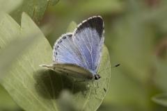 Faulbaumbläuling, Weibchen©Ralph Sturm