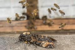 Totenkopfschwärmer und Honigbienen©Ralph Sturm