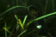 Glühwürmchen©Ralph Sturm