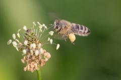 Honigbiene mit Pollenhöschen©Ralph Sturm