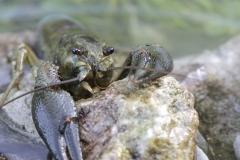 Flusskrebs - ©Ralph Sturm
