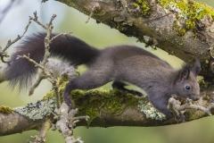 Eichhörnchen©Ralph Sturm