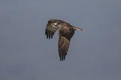 Fischadler©Ralph Sturm