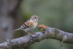 Bergfink, Weibchen©Ralph Sturm