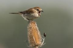 Neuntöter Weibchen würgt Gewölle aus©Ralph Sturm