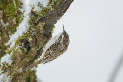Waldbaumläufer©Ralph Sturm