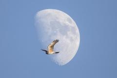 Kornweihe, Weibchen©Ralph Sturm